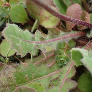 Photographie n°2351476 du taxon Crepis sancta (L.) Bornm. [1913]