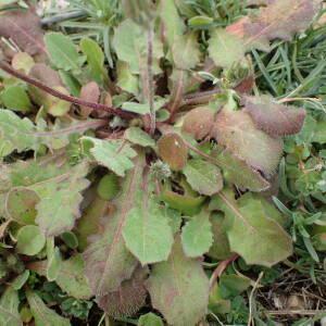 Photographie n°2351477 du taxon Crepis sancta (L.) Bornm. [1913]