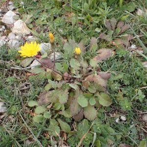 Photographie n°2351478 du taxon Crepis sancta (L.) Bornm. [1913]