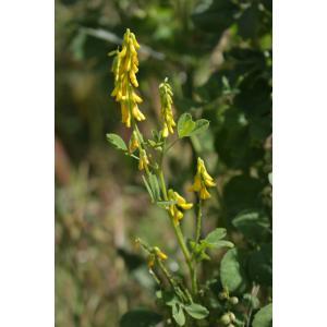 Trigonella italica (L.) Coulot & Rabaute (Mélilot d'Italie)