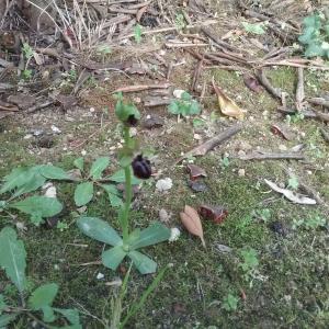 Photographie n°2352156 du taxon Ophrys aranifera Huds. [1778]