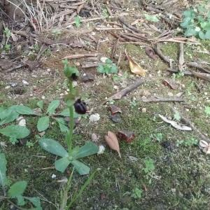 Photographie n°2352164 du taxon Ophrys aranifera Huds. [1778]