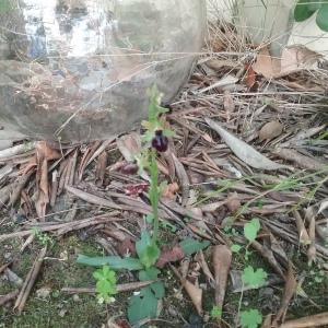 Photographie n°2352165 du taxon Ophrys aranifera Huds. [1778]