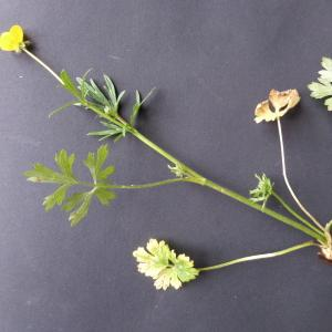 Photographie n°2352179 du taxon Ranunculus bulbosus subsp. bulbosus