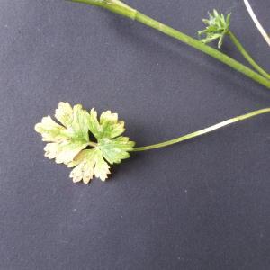 - Ranunculus bulbosus subsp. bulbosus