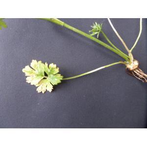 Ranunculus bulbosus L. subsp. bulbosus (Renoncule bulbeuse)