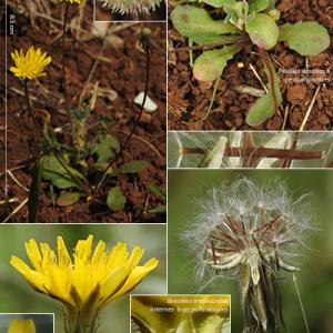 Photographie n°2352337 du taxon Crepis sancta (L.) Bornm. [1913]