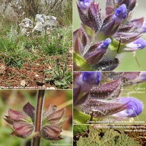 Photographie n°2352338 du taxon Salvia verbenaca subsp. verbenaca