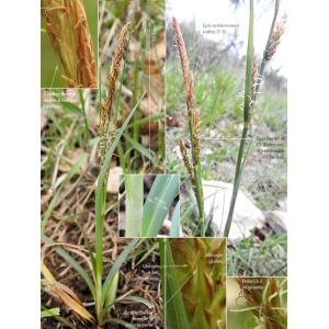 Carex flacca subsp. serrulata (Biv.) Greuter (Laiche à épis rougeâtres)