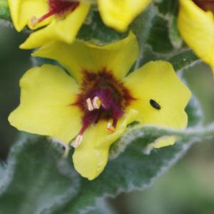 Photographie n°2352427 du taxon Verbascum boerhavii L. [1767]