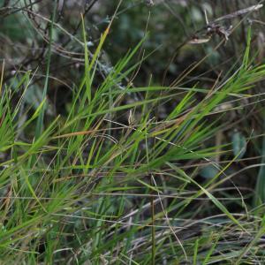 Photographie n°2352449 du taxon Brachypodium retusum (Pers.) P.Beauv. [1812]