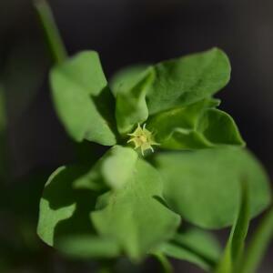 Photographie n°2352495 du taxon Euphorbia peplus L. [1753]