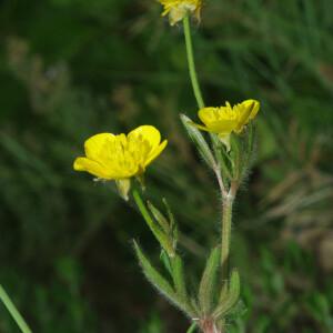 Photographie n°2352588 du taxon Ranunculus bulbosus L. [1753]