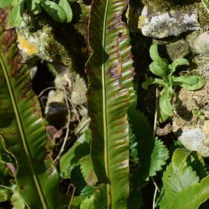 Photographie n°2352590 du taxon Asplenium scolopendrium L. [1753]