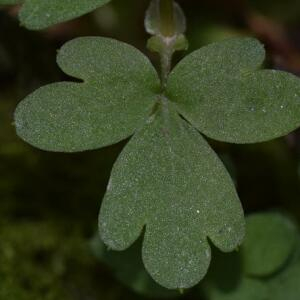 Photographie n°2352778 du taxon Adoxa moschatellina L. [1753]