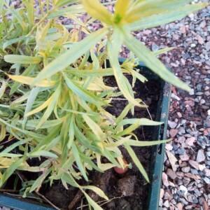 Photographie n°2352829 du taxon Artemisia dracunculus L. [1753]