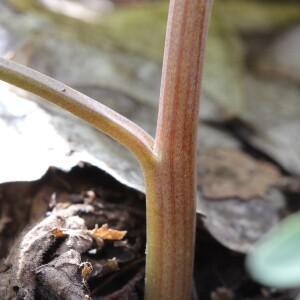 Photographie n°2352998 du taxon Corydalis solida (L.) Clairv. [1811]