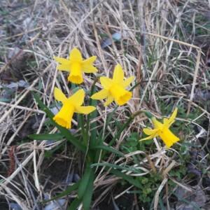 Photographie n°2353209 du taxon Narcissus pseudonarcissus L. [1753]