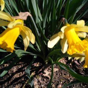 Photographie n°2353476 du taxon Narcissus pseudonarcissus L. [1753]