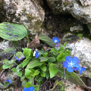 Photographie n°2353506 du taxon Omphalodes verna Moench [1794]