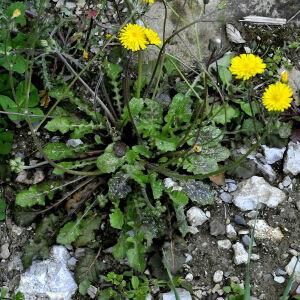 Photographie n°2353700 du taxon Crepis sancta (L.) Bornm. [1913]