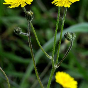 Photographie n°2353701 du taxon Crepis sancta (L.) Bornm. [1913]