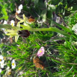 Photographie n°2354042 du taxon Ophrys aranifera Huds. [1778]