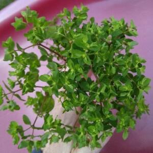 Photographie n°2354057 du taxon Euphorbia peplus L. [1753]