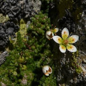 Photographie n°2354256 du taxon Saxifraga bryoides L. [1753]