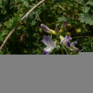 Photographie n°2354268 du taxon Astragalus alpinus subsp. alpinus