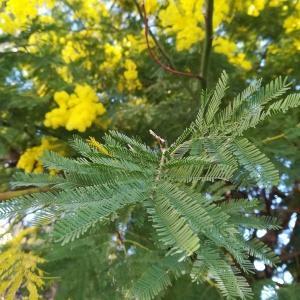 Photographie n°2354421 du taxon Acacia dealbata Link [1822]