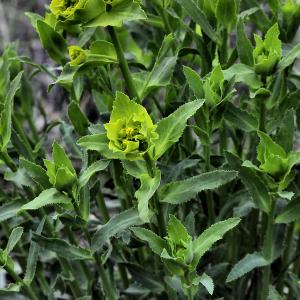 Photographie n°2354592 du taxon Euphorbia serrata L. [1753]