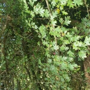 Photographie n°2354601 du taxon Crataegus azarolus L. [1753, Sp. Pl., 1 : 477]