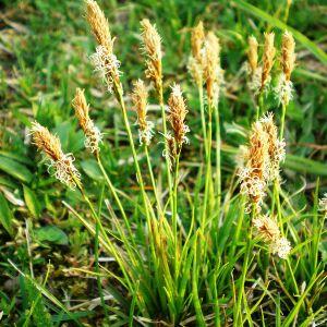 Photographie n°2354602 du taxon Carex caryophyllea Latourr. [1785]