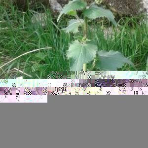 Photographie n°2354756 du taxon Lunaria annua L. [1753, Sp. Pl., 2 : 653]