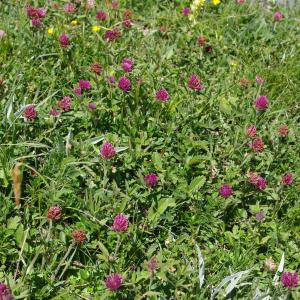 Photographie n°2354778 du taxon Trifolium alpestre L. [1763]