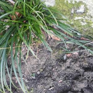 Photographie n°2354795 du taxon Carex leersii F.W.Schultz [1870, Flora, 53 : 455] , non Willd. [1787]