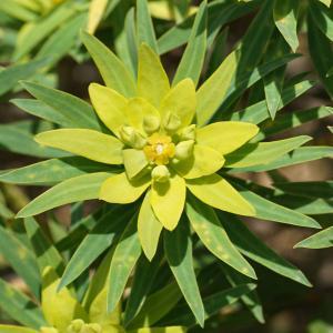 Photographie n°2355392 du taxon Euphorbia dendroides L. [1753]