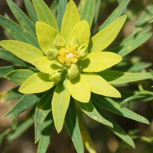 Photographie n°2355393 du taxon Euphorbia dendroides L. [1753]