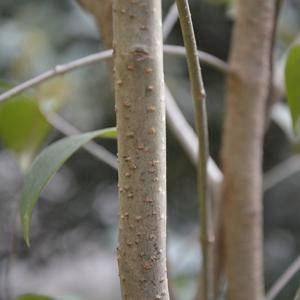 Photographie n°2355647 du taxon Ligustrum ovalifolium Hassk. [1844]