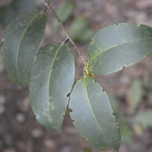 Photographie n°2355689 du taxon Ligustrum ovalifolium Hassk. [1844]