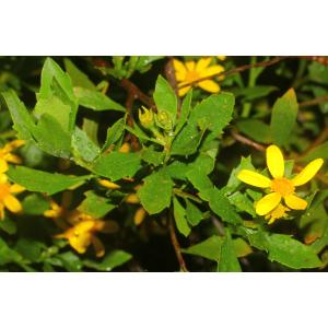 Chrysanthemoides monilifera (L.) Norl. (Faux Chrysanthème)