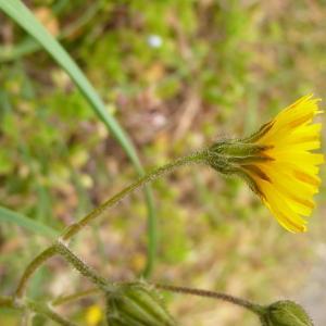 Photographie n°2355860 du taxon Crepis sancta (L.) Bornm. [1913]