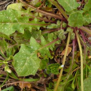 Photographie n°2355861 du taxon Crepis sancta (L.) Bornm. [1913]
