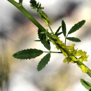 Photographie n°2355957 du taxon Trigonella officinalis (L.) Coulot & Rabaute [2013]