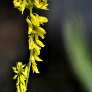 Photographie n°2355958 du taxon Trigonella officinalis (L.) Coulot & Rabaute [2013]