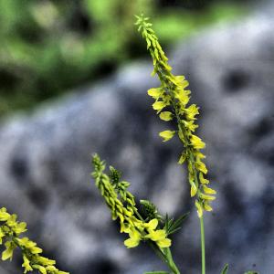 Photographie n°2355959 du taxon Trigonella officinalis (L.) Coulot & Rabaute [2013]