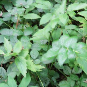 Photographie n°2356007 du taxon Pimpinella major (L.) Huds. [1762]