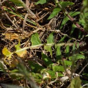 Photographie n°2356087 du taxon Bunias erucago L.