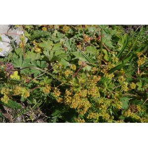 Alchemilla colorata Buser (Alchémille colorée)